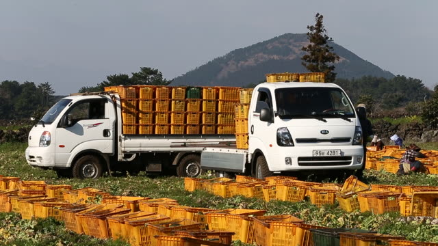 Shot of farm workers harvesting radish and loading basket into the truck at the farm in Gujwa-eup