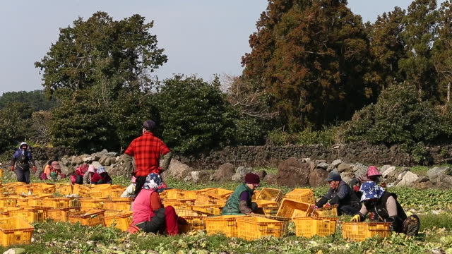shot of farm workers harvesting radish and putting in the basket at the farm in gujwa-eup - 腰に手を当てる点の映像素材/bロール