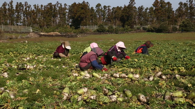 shot of farm workers harvesting radish at the farm in gujwa-eup - lavoratore agricolo video stock e b–roll