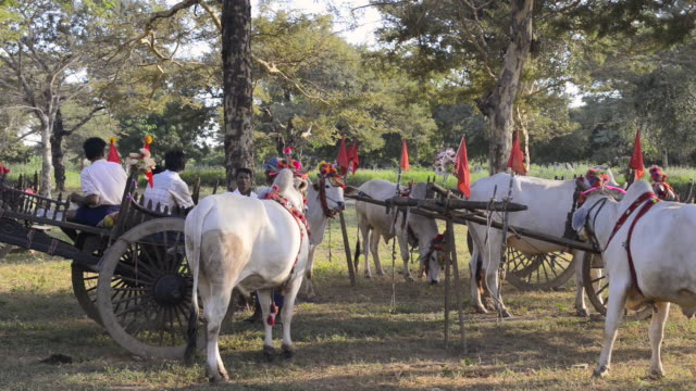 ms shot of farmer and white bullocks with oxcart under acacia tree / bagan, mandalay division, myanmar - pagan stock-videos und b-roll-filmmaterial