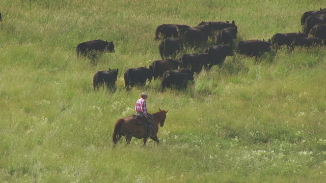 cu aerial ts shot of farmer on horse and cows / wyoming, united states - 牧畜場点の映像素材/bロール
