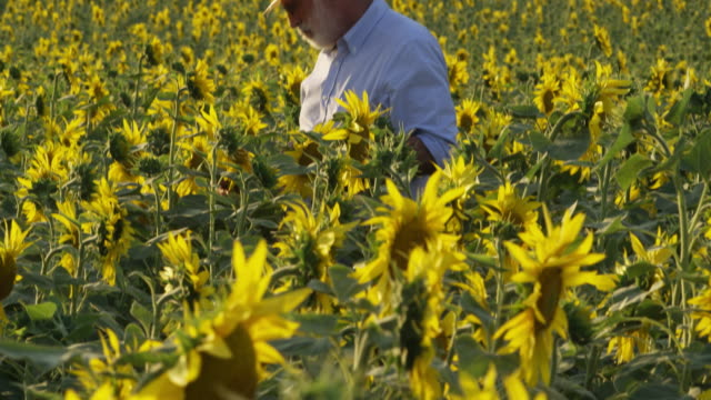 tu shot of farmer standing in field of sunflowers, checking plants - only mature men stock videos & royalty-free footage
