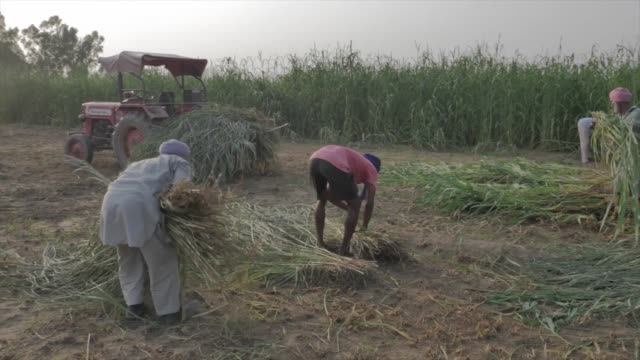 shot of farmers in punjab, india picking up bunches of rice crops. - punjab region stock-videos und b-roll-filmmaterial