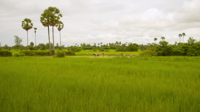 ws shot of farmers planting rice in flooded rice field in puok area / siem reap, siem reap province, cambodia - rice paddy stock videos and b-roll footage
