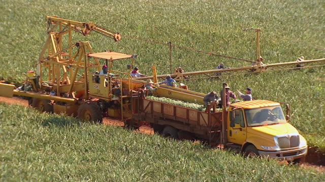 MS DS AERIAL Shot of farmers using truck to harvest pineapples from dole pineapple fields on Island of Oahu / Wahiawa, Hawaii, United States