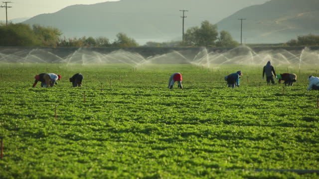 ms pan shot of farmworkers picking fruit in field in front of sprinkler / oxnard, california, united states - lavoratore agricolo video stock e b–roll