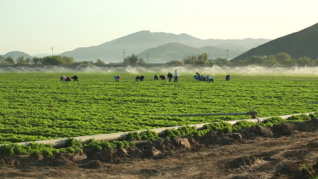 vídeos de stock, filmes e b-roll de ws pan shot of farmworkers picking fruit in field in front of sprinkler / oxnard, california, united states - migrant worker