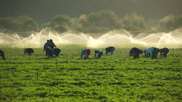 ms shot of farmworkers picking fruit in field in front of sprinkler / oxnard, california, united states - lavoratore emigrante video stock e b–roll