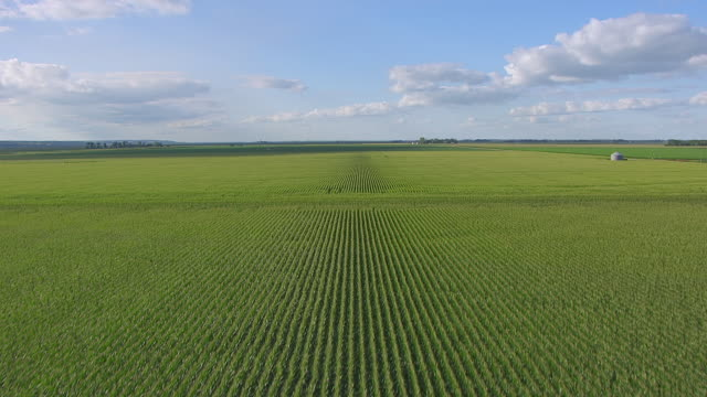 CU AERIAL LA TU Shot of Fast fly over crops to rows of corn / Nebraska, United States