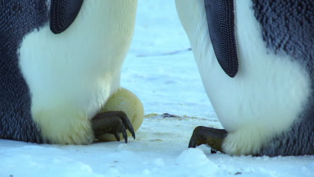 CU Shot of feet of Emperor penguin steps to egg which mate pulls under brood pouch / Dumont D'Urville Station, Adelie Land, Antarctica