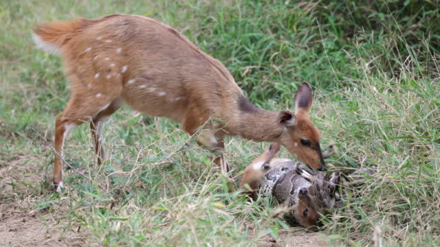 ms shot of female bushbuck attacking python strangling bushbuck foal  / kruger national park, mpumalanga, south africa - throttle stock videos & royalty-free footage