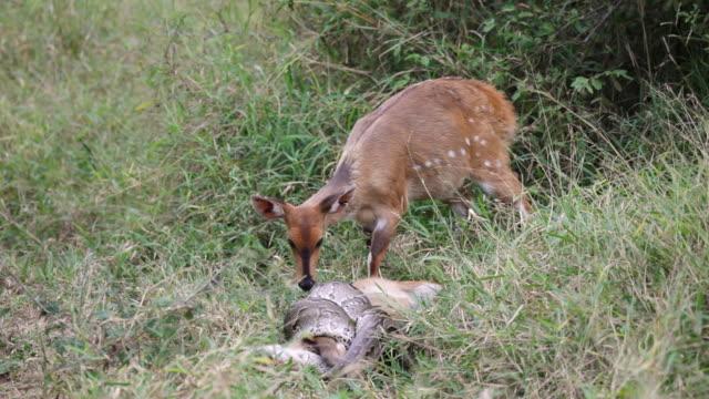 ms shot of female bushbuck barking at python strangling bushbuck foal / kruger national park, mpumalanga, south africa - throttle stock videos & royalty-free footage