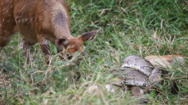 cu ts shot of female bushbuck sniffing python strangling bushbuck foal  / kruger national park, mpumalanga, south africa - throttle stock videos & royalty-free footage