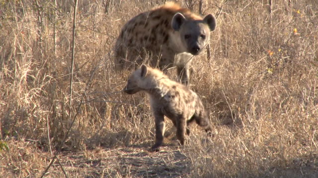 ms ts shot of female hyena and pup walking through dry grass back to densite  / kruger national park, mpumalanga, south africa - female animal stock videos & royalty-free footage