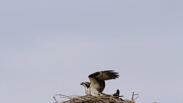ms shot of female osprey landing in nest / longmont, colorado, united states - ミサゴ点の映像素材/bロール