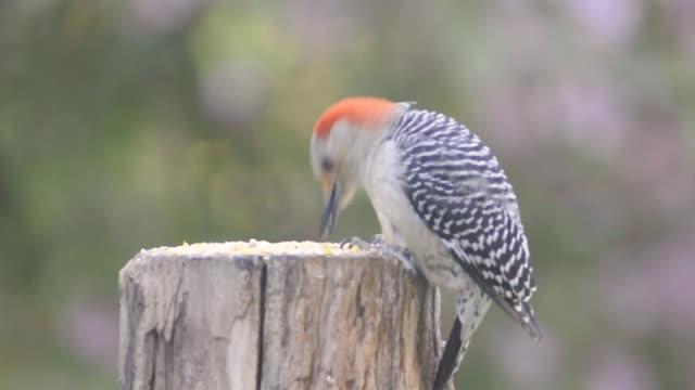 cu shot of female red-bellied woodpecker (centurus carolinus) eating seeds on top of a stum / valparaiso, indiana, united states - baumstumpf stock-videos und b-roll-filmmaterial