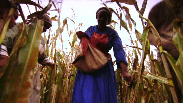 ms pov shot of female slave walking to camera as she harvests corn / culpeper, virginia, united states - slavery stock videos & royalty-free footage