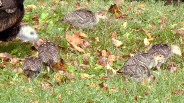 MS TS Shot of Female wild turkey and chicks walking in green field / Tweed, Ontario, Canada