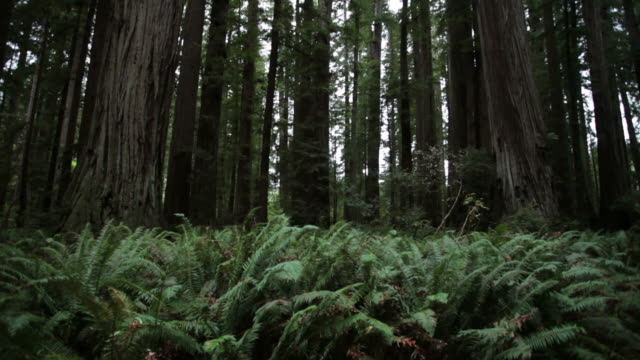 MS TU Shot of ferns to Redwood forest / Crescent City, California , United States