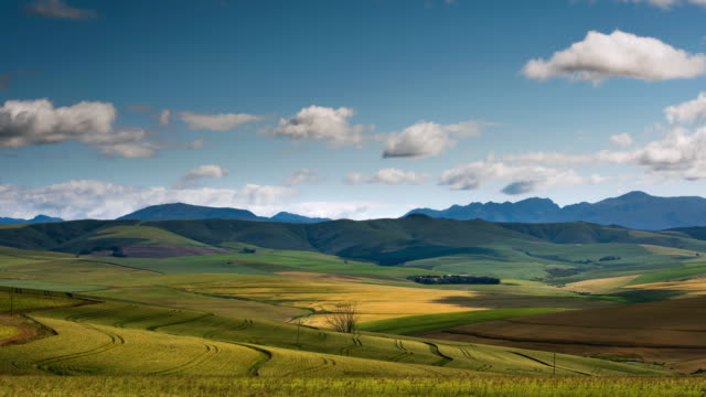 WS T/L Shot of Fields of ripening wheat / Caledon, Western Cape, South Africa