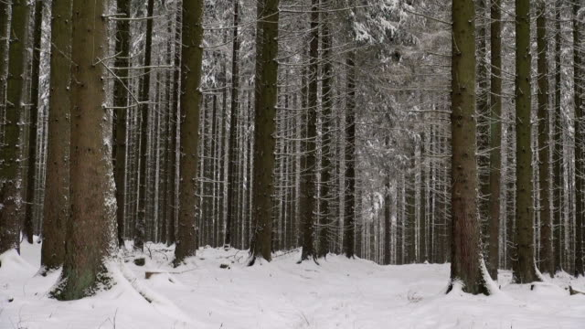 MS Shot of fir forest in winter with snow falling / Erbeskopf, Hunsruck, Rhineland Palatinate, Germany