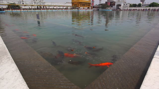 MS TU Shot of fish in pond of Golden Temple (Sikh temple) / Amritsar, Punjab, India