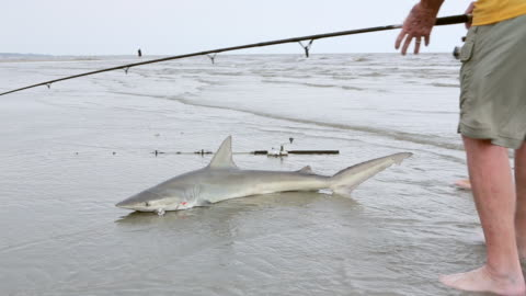 ms shot of fishermen caught shark at beach / st simon's island, georgia, united states - catching stock videos & royalty-free footage