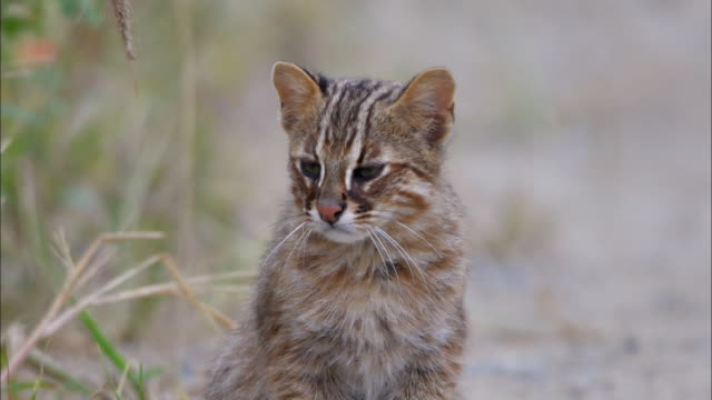 shot of fishing cat (prionailurus viverrinus) in the morning - animals in the wild stock videos & royalty-free footage