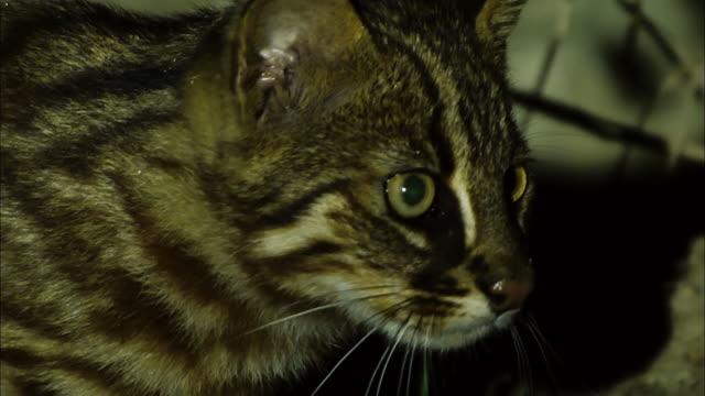 vídeos de stock, filmes e b-roll de shot of fishing cat (prionailurus viverrinus) starring at prey - olhos verdes