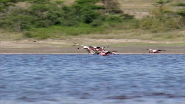 shot of flamingos flying to lake at serengeti national park - タンザニア点の映像素材/bロール