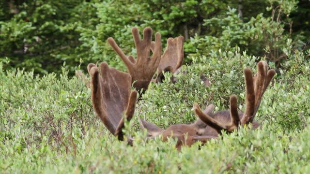 ms shot of flashing velvety moose antlers at sunrise / ward, colorado, united states - ベルベット点の映像素材/bロール