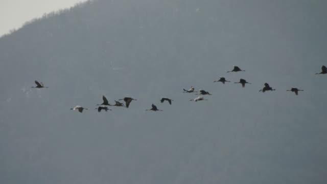shot of flock of hooded crane flying in v-formation - birds flying in v formation stock videos and b-roll footage