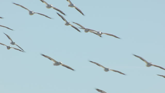 vidéos et rushes de ms aerial ts zo shot of flock of pelicans flying pelicans flying over mississippi river and farmland en route west of tiptonville in new madrid county / missouri, united states - fleuve mississippi