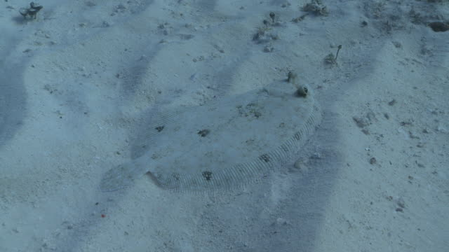 ms ds shot of flounder on sand / playa del carmen, isla mujeres, mexico - flounder stock videos & royalty-free footage