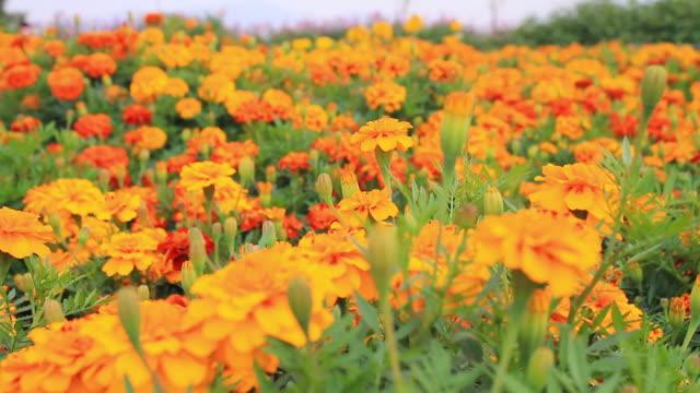 ECU R/F TU Shot of flower bed of Orange French Marigold / Guri, Gyeonggi do, South Korea