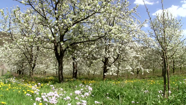 MS Shot of flowering apple trees (Malus) / Merzkirchen, Rhineland-Palatinate, Germany