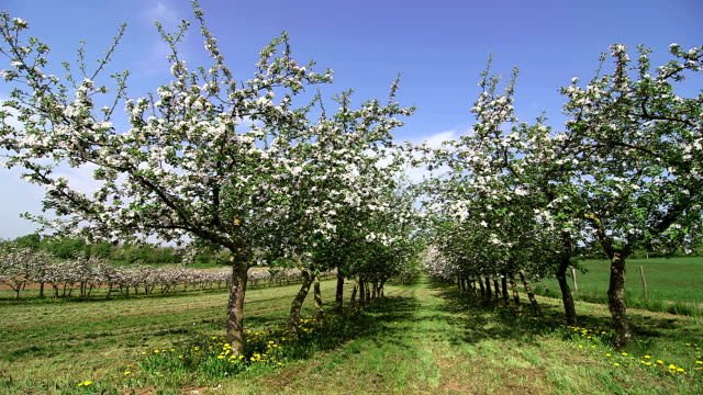 WS Shot of flowering apple trees (Malus) / Merzkirchen, Rhineland-Palatinate, Germany