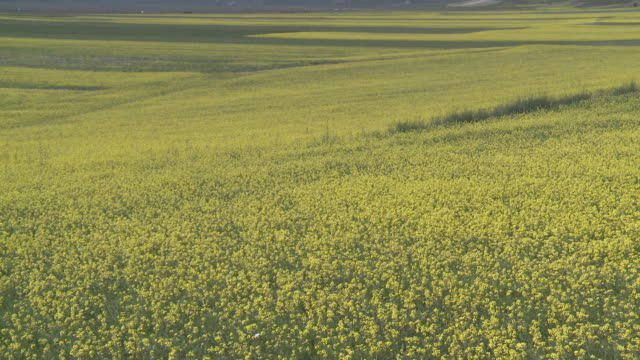 ms shot of flowering lentils and oilseed fields  / castelluccio di norcia, umbria, italie - crucifers stock videos & royalty-free footage