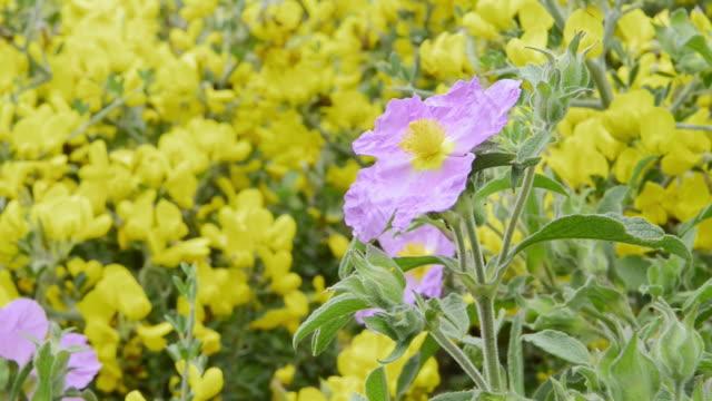 stockvideo's en b-roll-footage met ms shot of flowering rockrose (cistus albidus) and broom (genista) / verghia, corsica, france - meeldraad