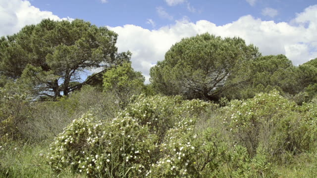 vidéos et rushes de shot of flowering rockrose (cistus) and pine trees in nature preserve / palombaggia, corsica, france - pin