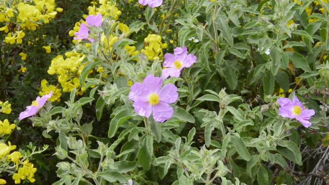 stockvideo's en b-roll-footage met ms shot of flowering rockrose (cistus albidus) / verghia, corsica, france - meeldraad