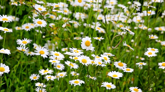 vidéos et rushes de ms shot of flowery meadow with marguerite, chrysanthemum / losheim, saarland, germany - marguerite