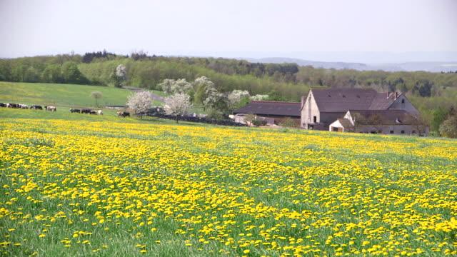 WS R/F Shot of flowey dandelion meadow(Taraxacum officinale) with houses / Merzkirchen, Rhineland-Palatinate, Germany