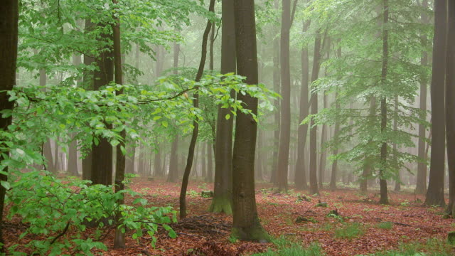 MS Shot of foggy forest with mossy ground / Serrig, Rhineland Palatinate, Germany