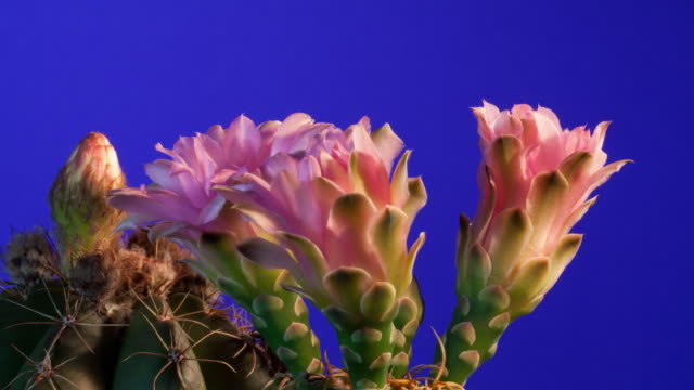 cu t/l shot of four cactus flowers blooming against blue background / studio city, california, united states - cactus stock videos & royalty-free footage