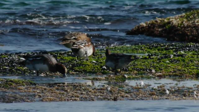 vídeos y material grabado en eventos de stock de shot of four european wigeons searching prey at the sea - cuatro animales