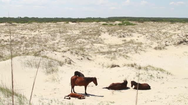 ws shot of four wild horses resting on ocean sand / rodanthe, north carolina, united states - north carolina beach stock videos & royalty-free footage
