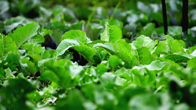 CU SLO MO Shot of fresh greens in field at organic farm / Chatham, Michigan, United States