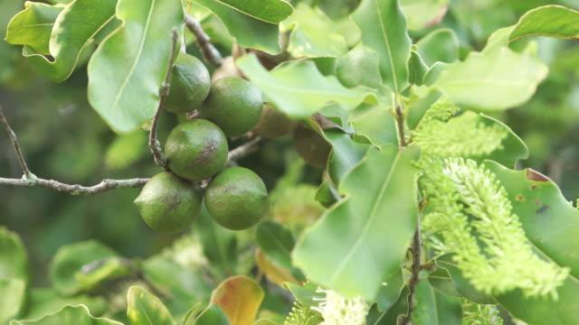 vidéos et rushes de cu shot of fresh macadamia nuts hang in bush / kauai, hawaii, united states - wiese
