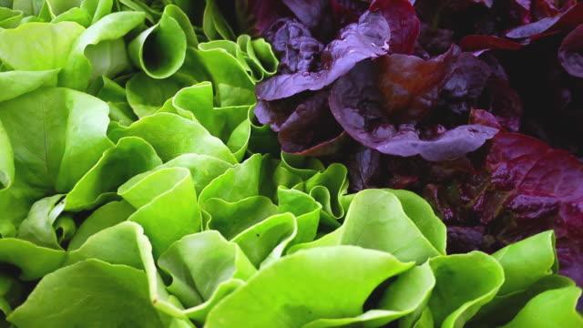 CU SLO MO PAN Shot of Fresh produce (lettuce) at Farmer's Market / Chatham, Michigan, United States
